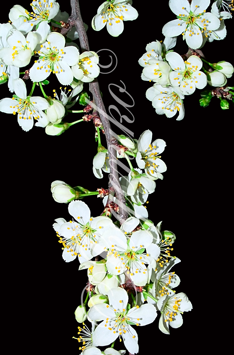 The wild cherry blossoms II